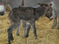 Bramble the Donkey Foal