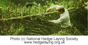 Hedgelaying. Image (c) the National Hedge Laying Society