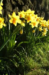 Spring Daffodils. Image from FreeFoto.com